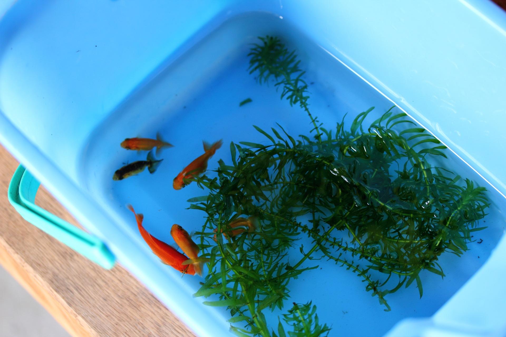 金魚に新たな仲間♪