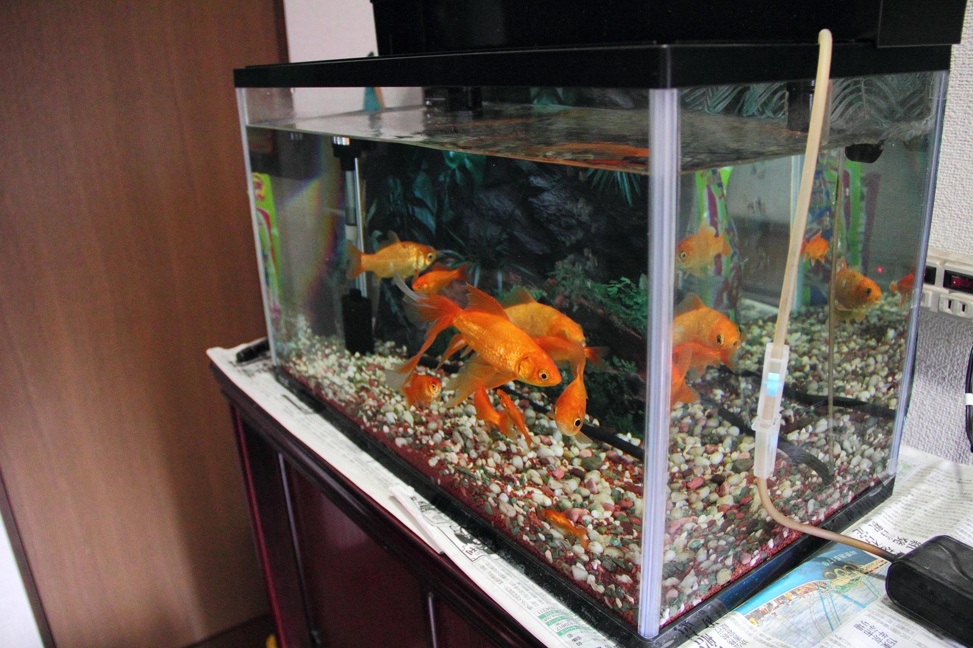 実家の金魚とチャボ