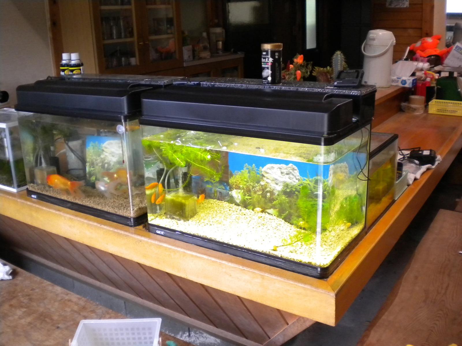 金魚の水槽掃除!