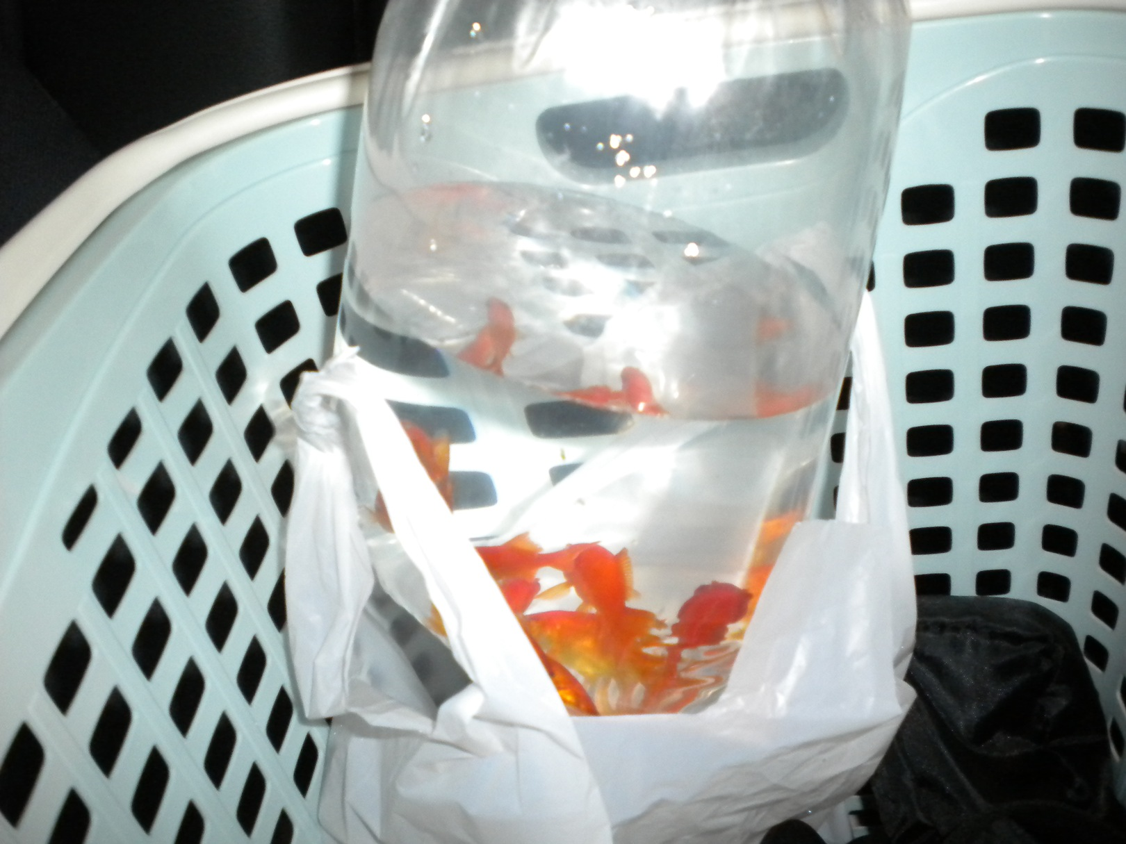 新たなる金魚購入~♪:小赤