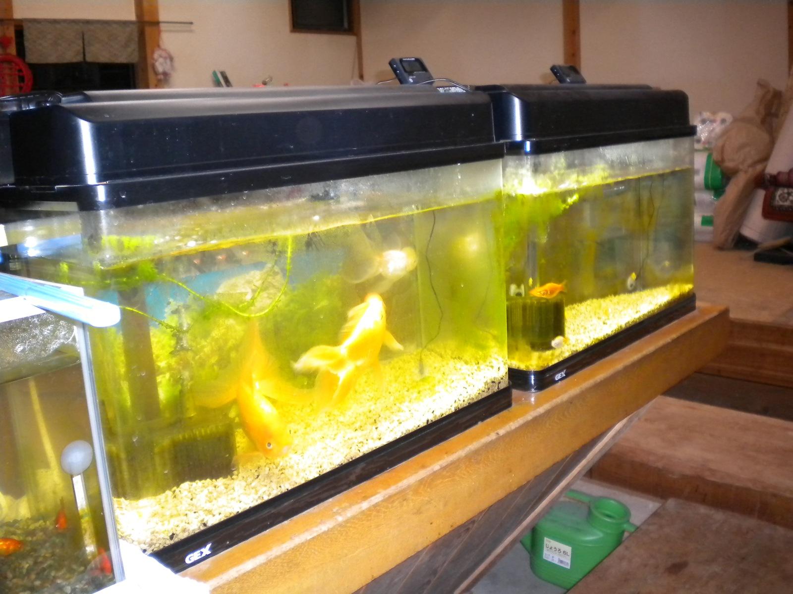 金魚の水槽の水替えとコケ掃除:101201