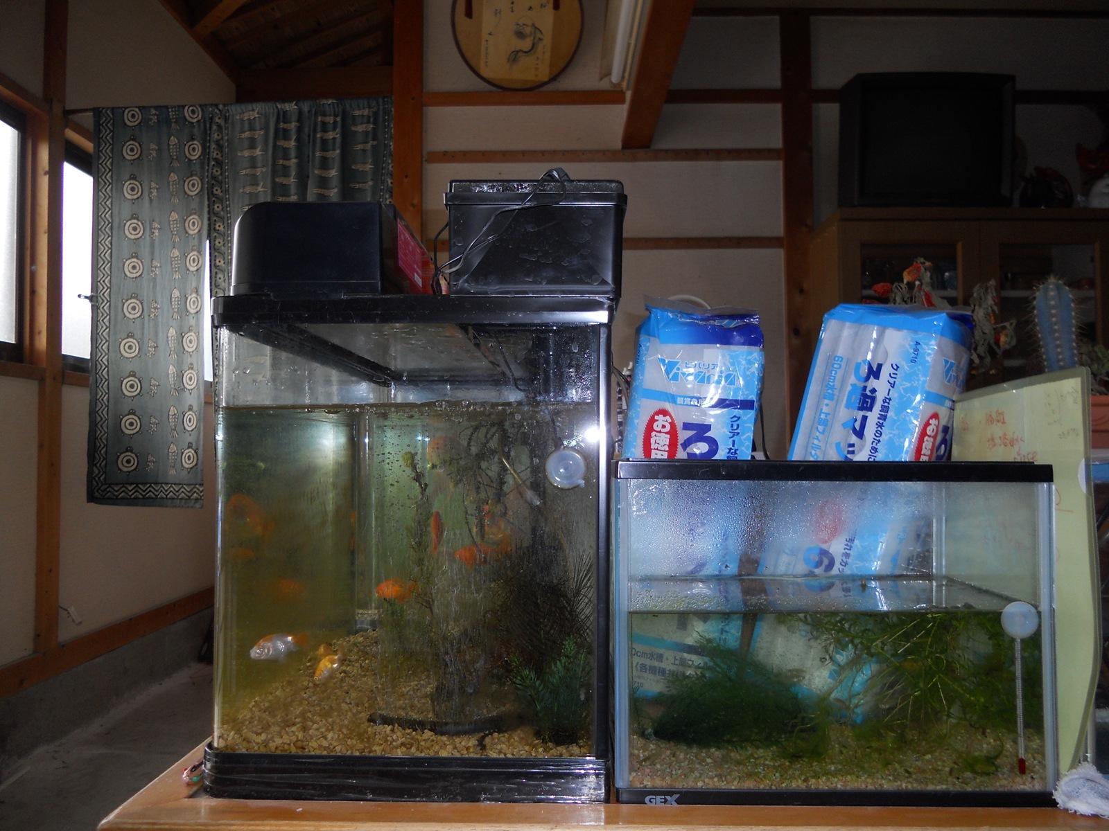 金魚の水槽掃除!:110206