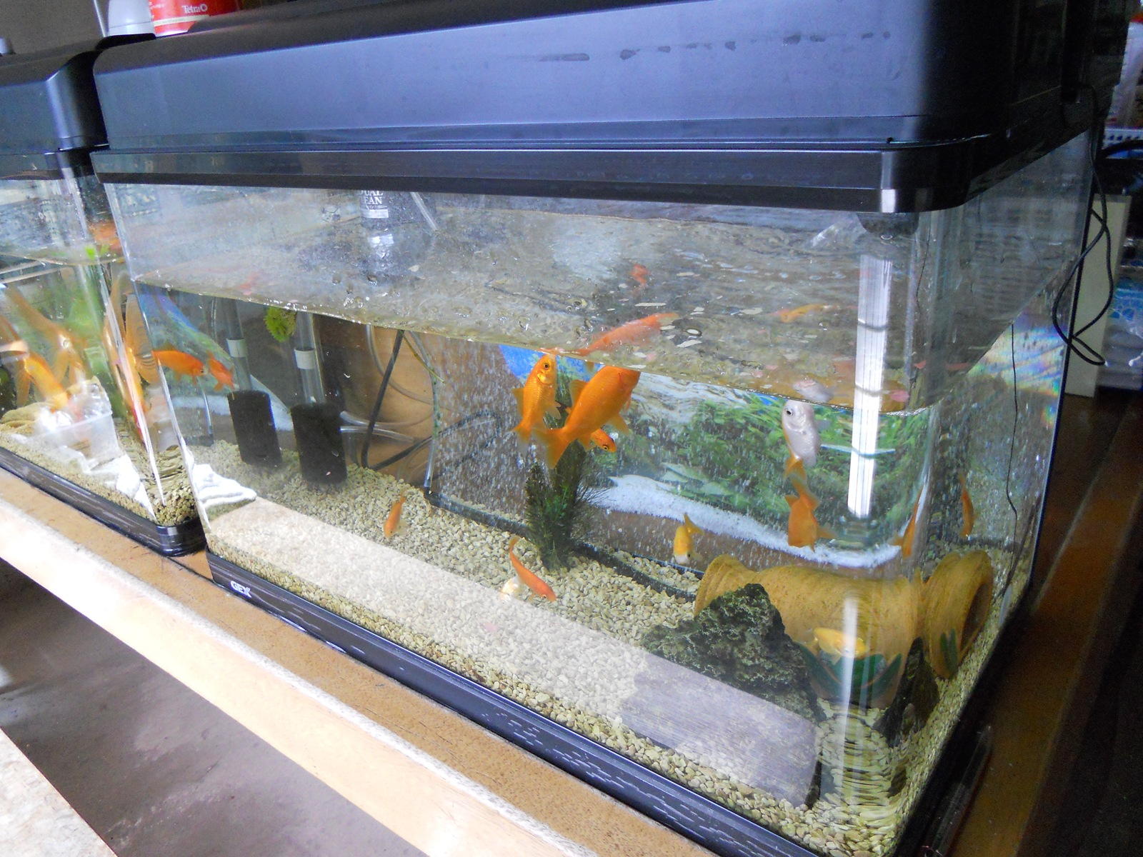金魚のエサやりとメダカの水槽掃除に未使用水槽の掃除と、再びの転覆病!?:11.03.06