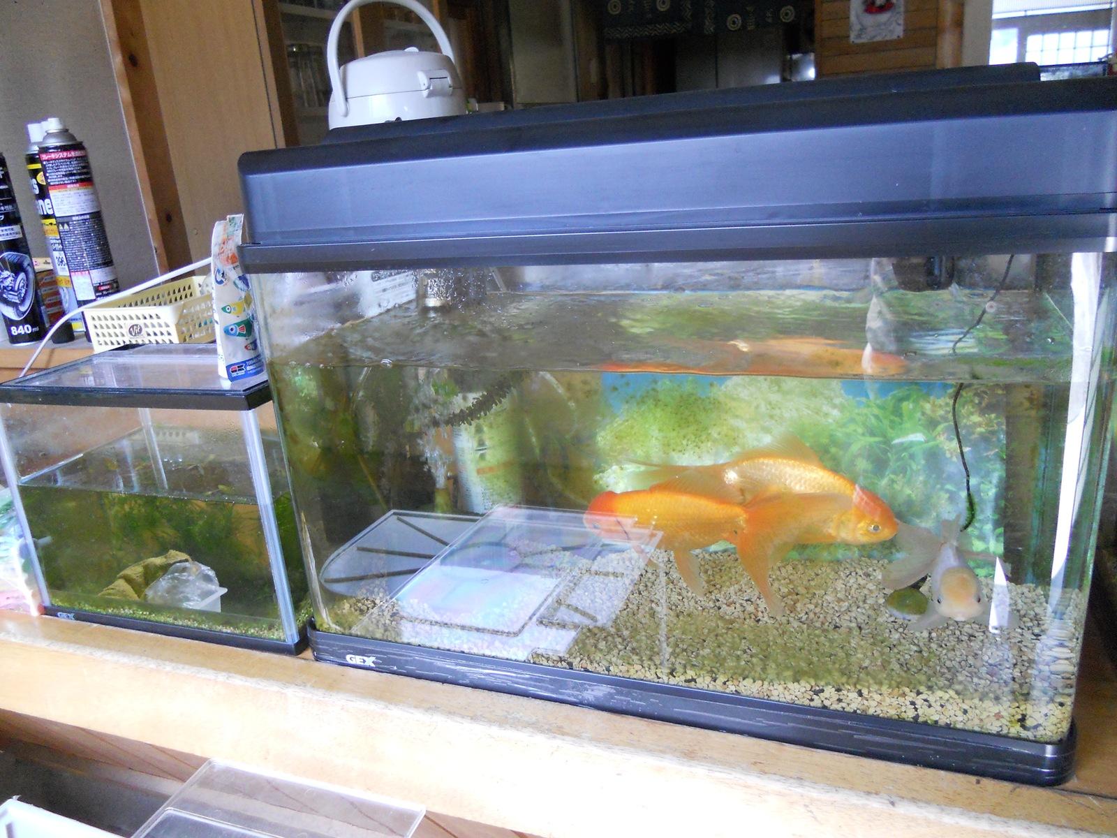 金魚の水槽掃除と水替え:11.03.13