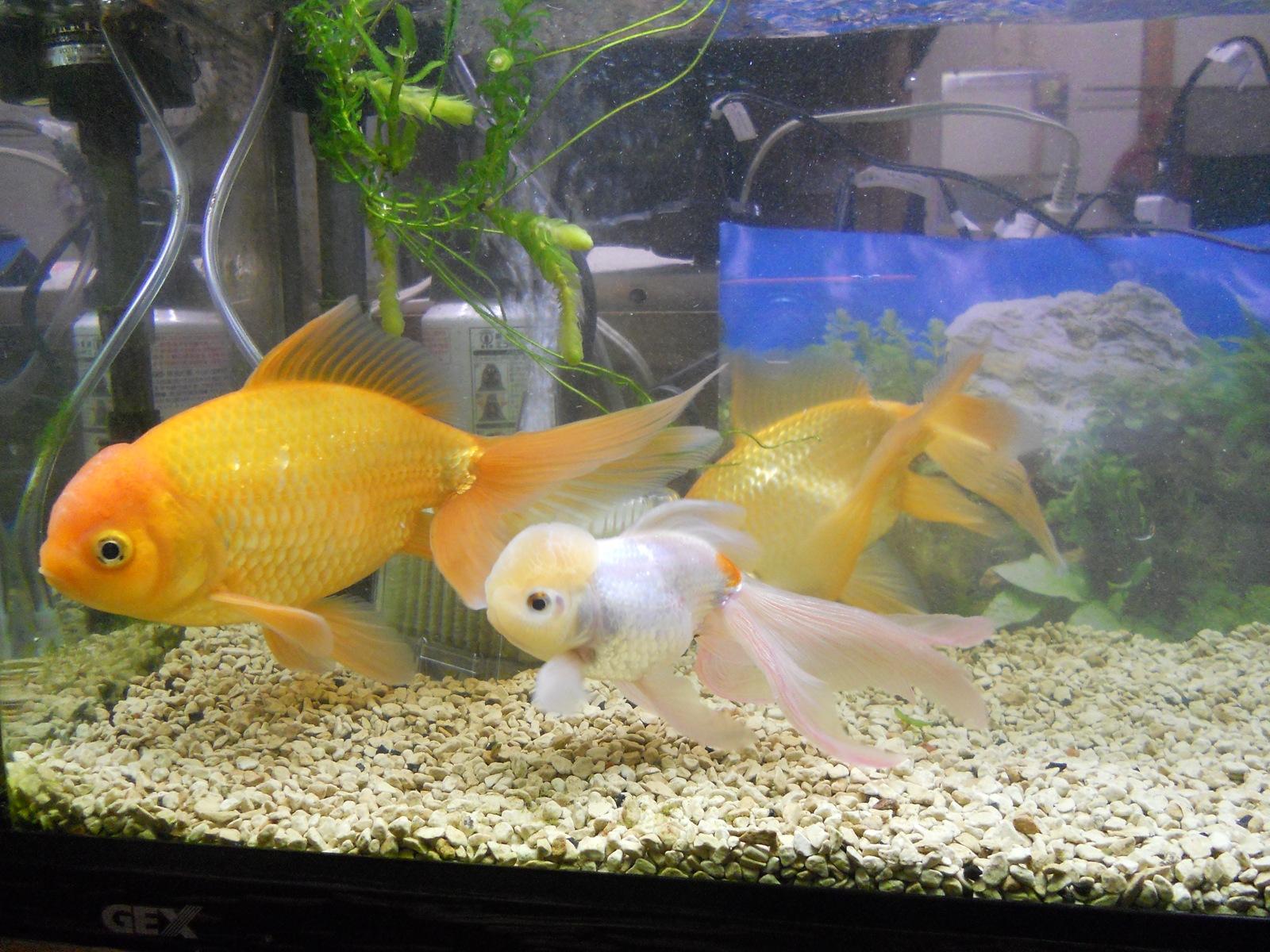 金魚の病気治療と掃除:11.04.06
