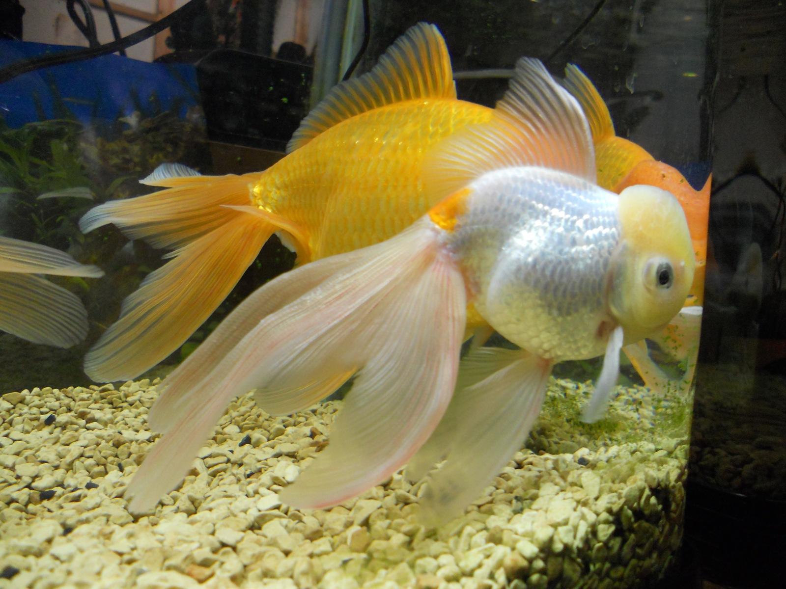 金魚の治療2日目:11.04.07