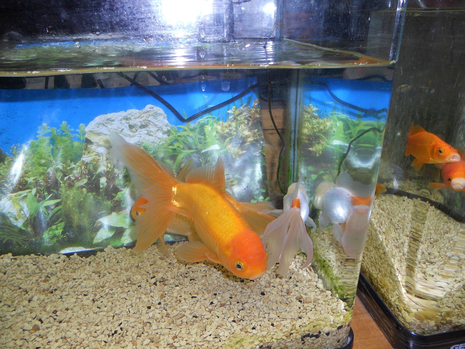 金魚の治療4日目:11.04.09