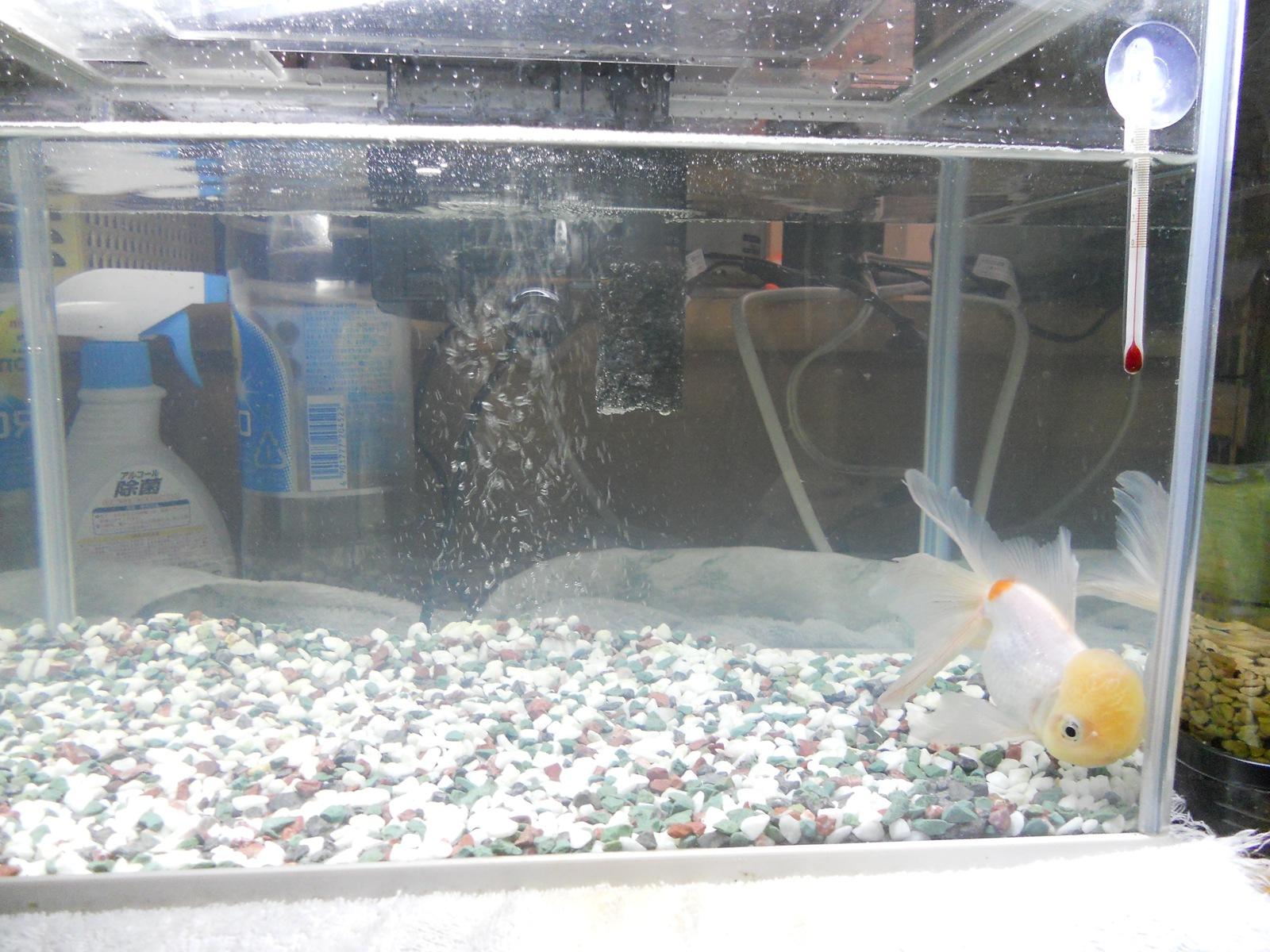 金魚の治療6日目:11.04.11