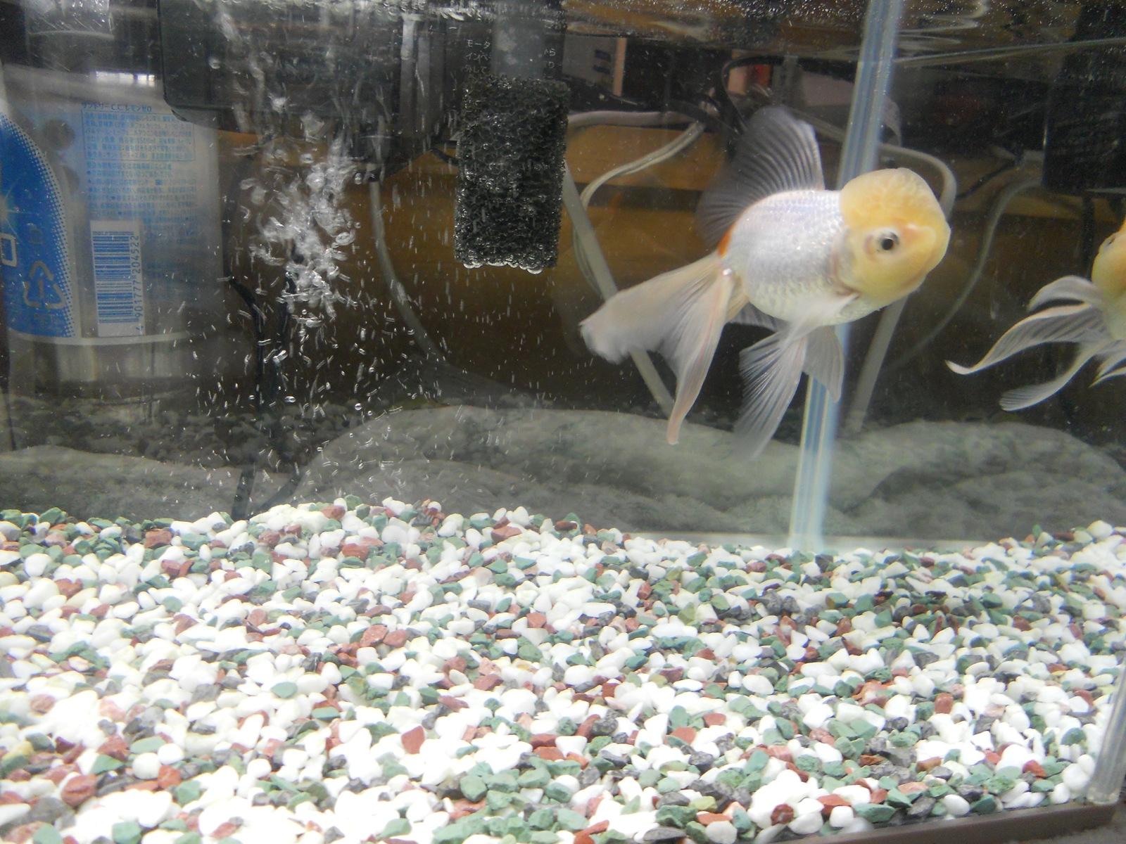 金魚の治療9日目:11.04.14