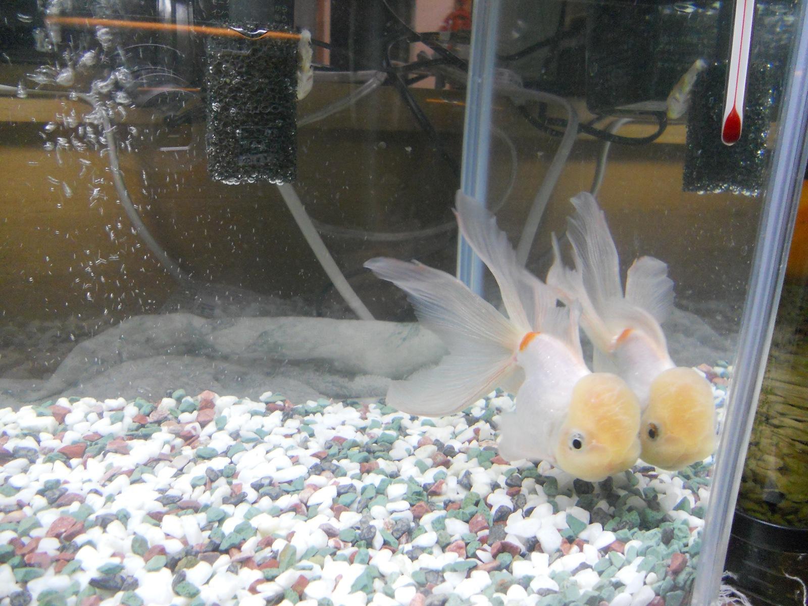 金魚の治療17日目:11.04.22:グリーンFゴールド顆粒