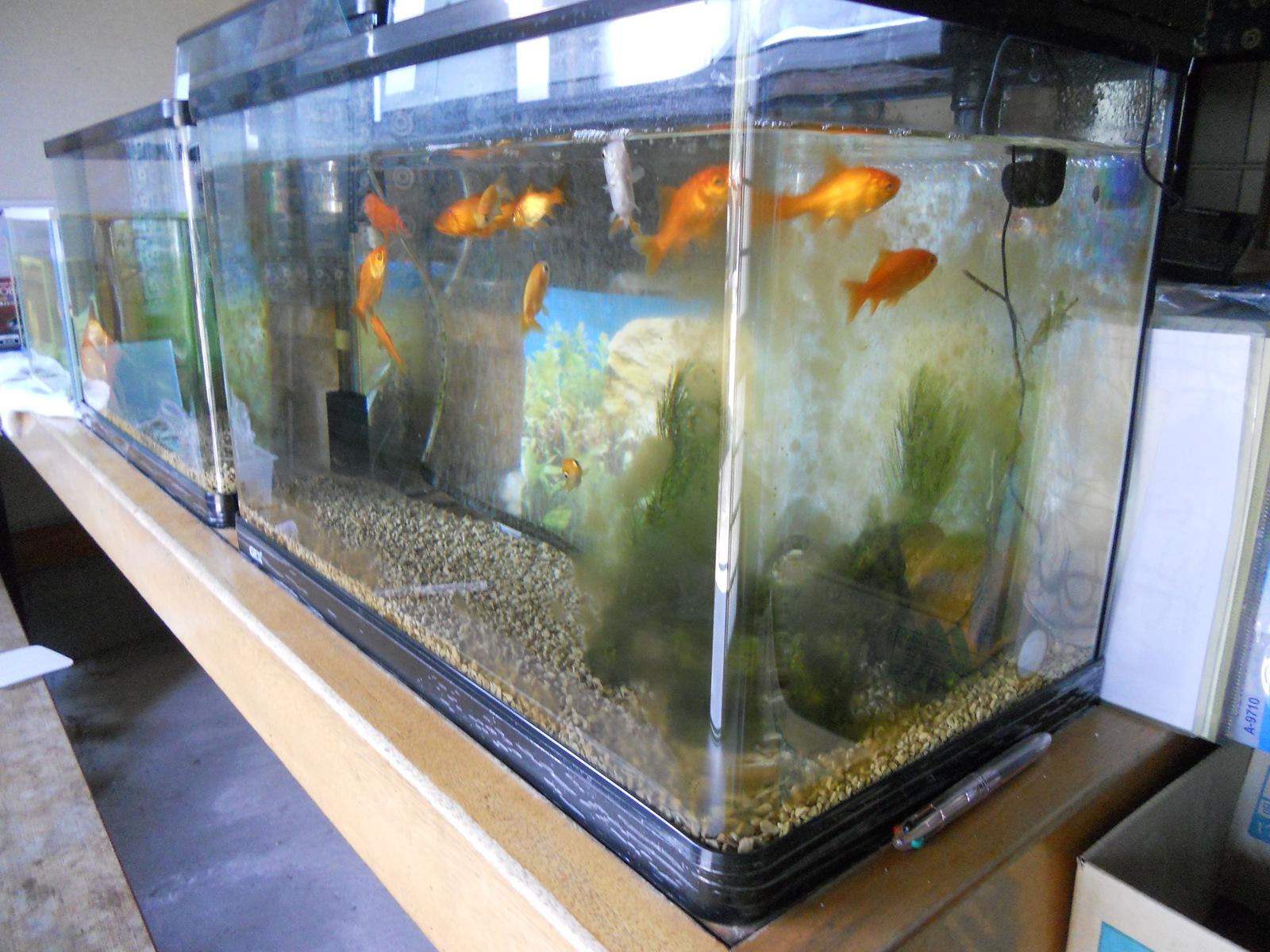金魚の水槽を掃除~♪:11.04.24