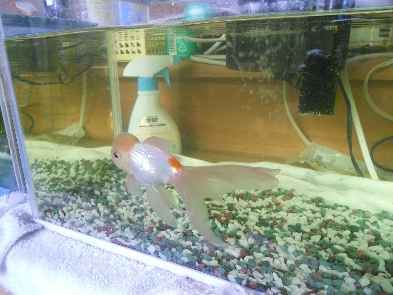 金魚の治療19日目:11.04.24