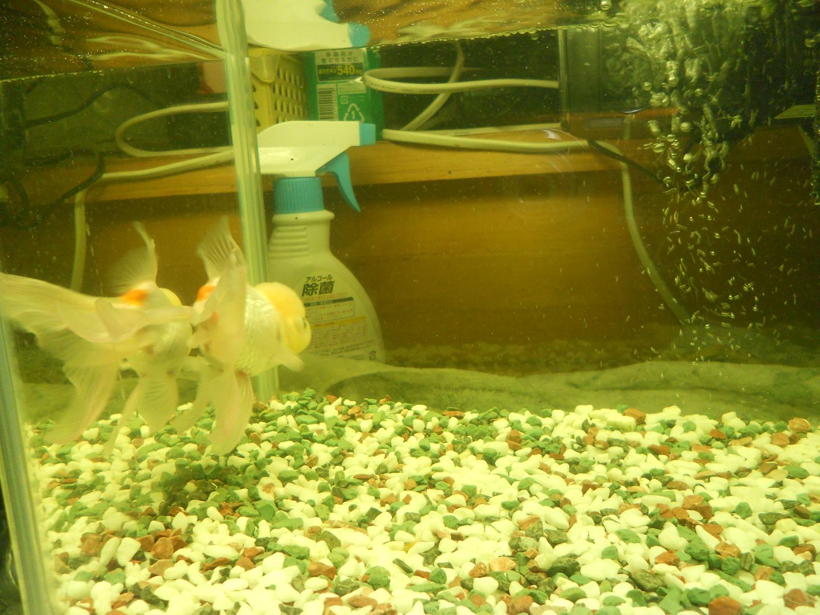 金魚の治療20日目:11.04.25