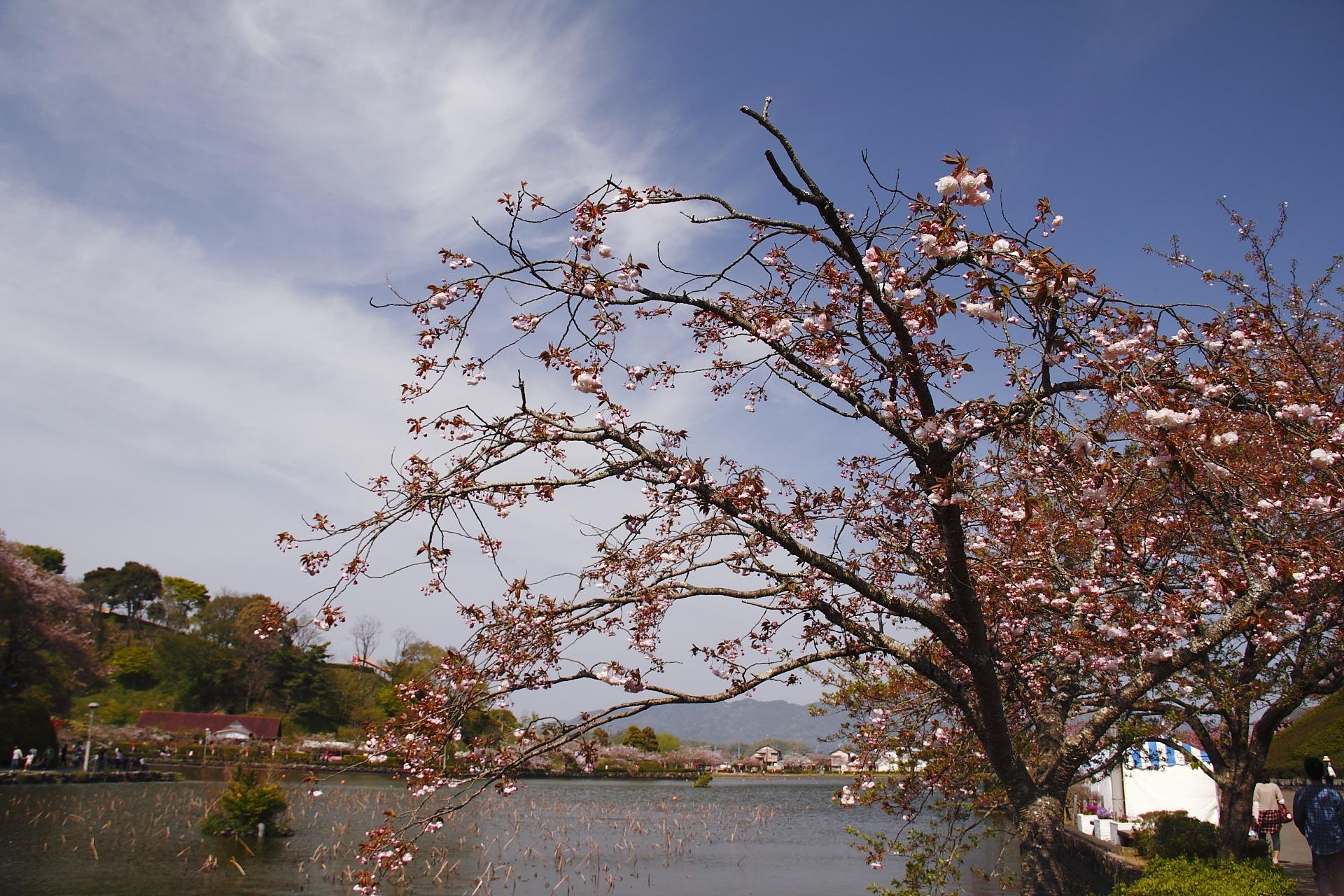 休日記[27] – 蓮華寺池公園の藤まつり