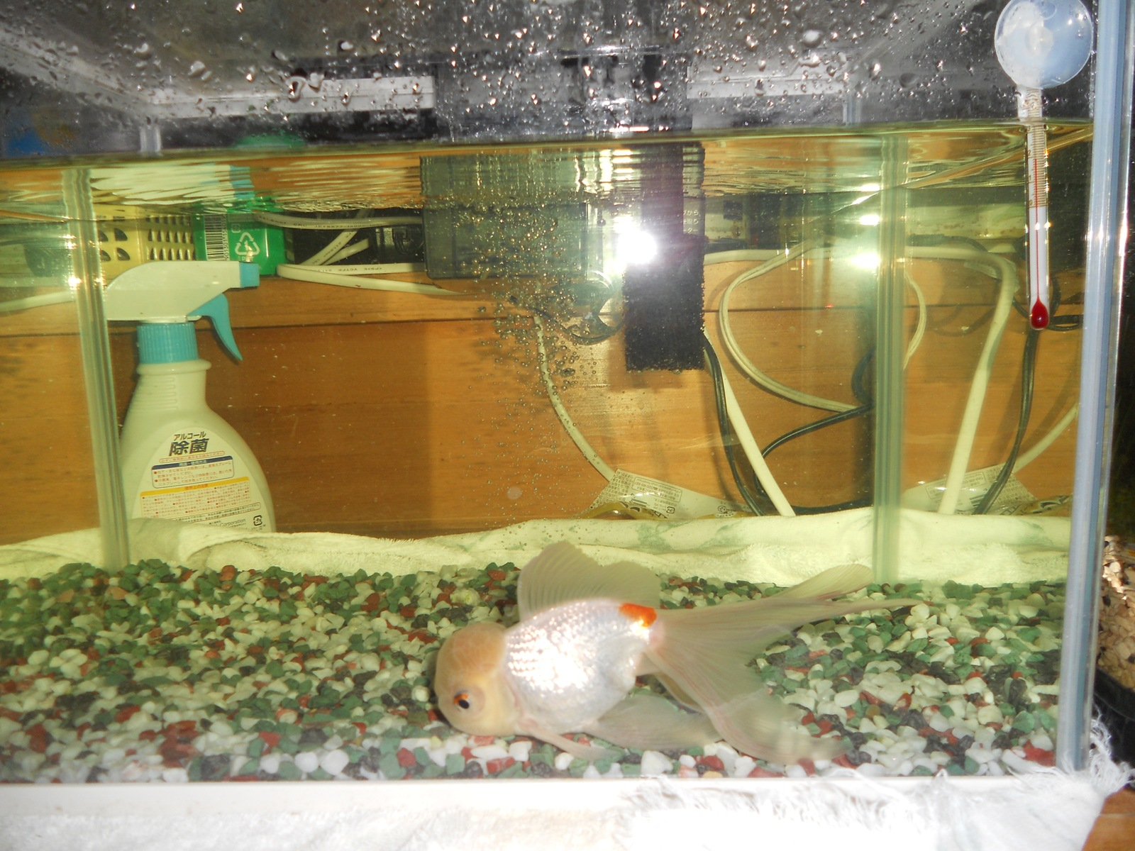 金魚の治療26日目:11.05.01