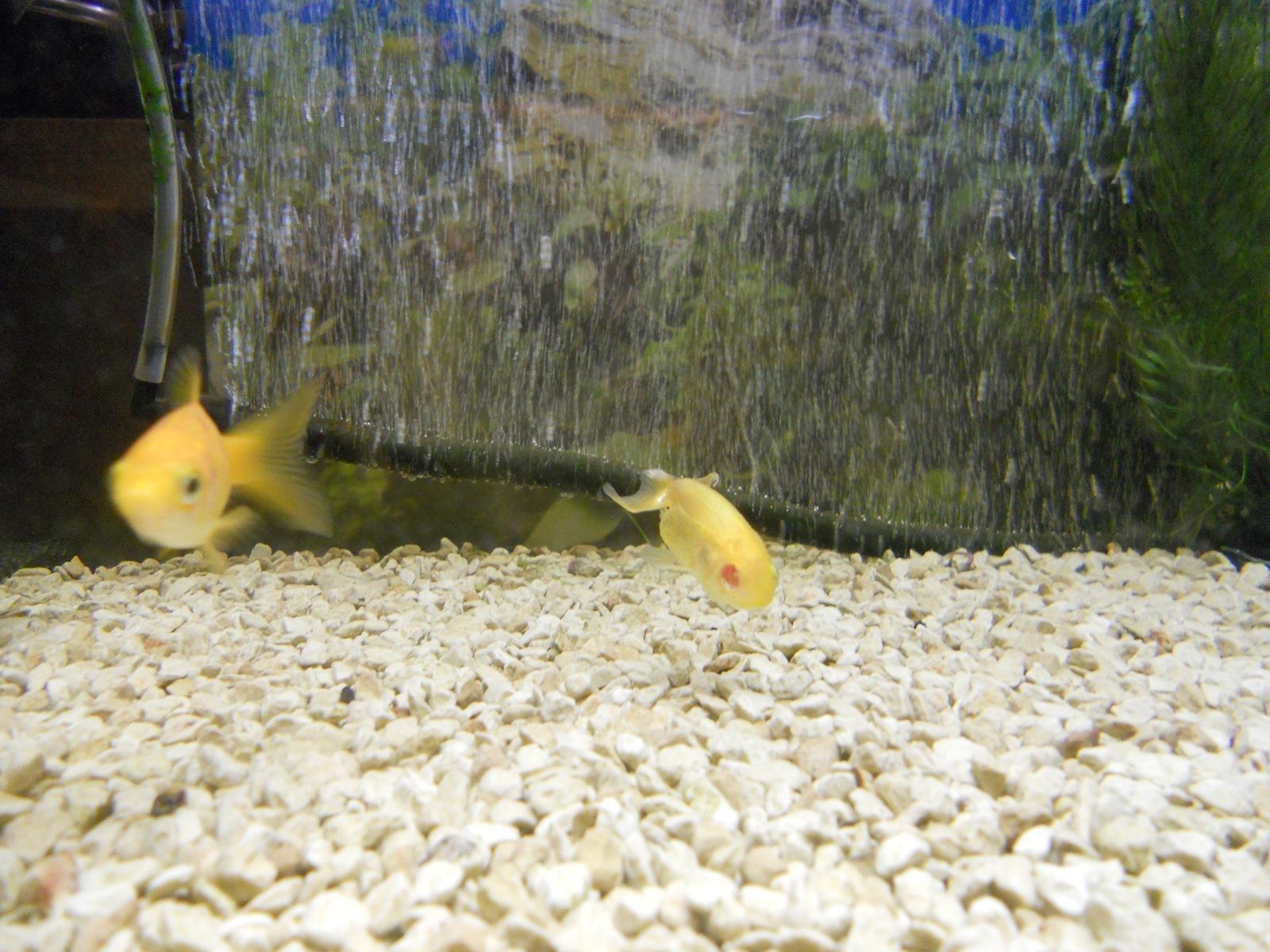 金魚の片眼が失われた!!?