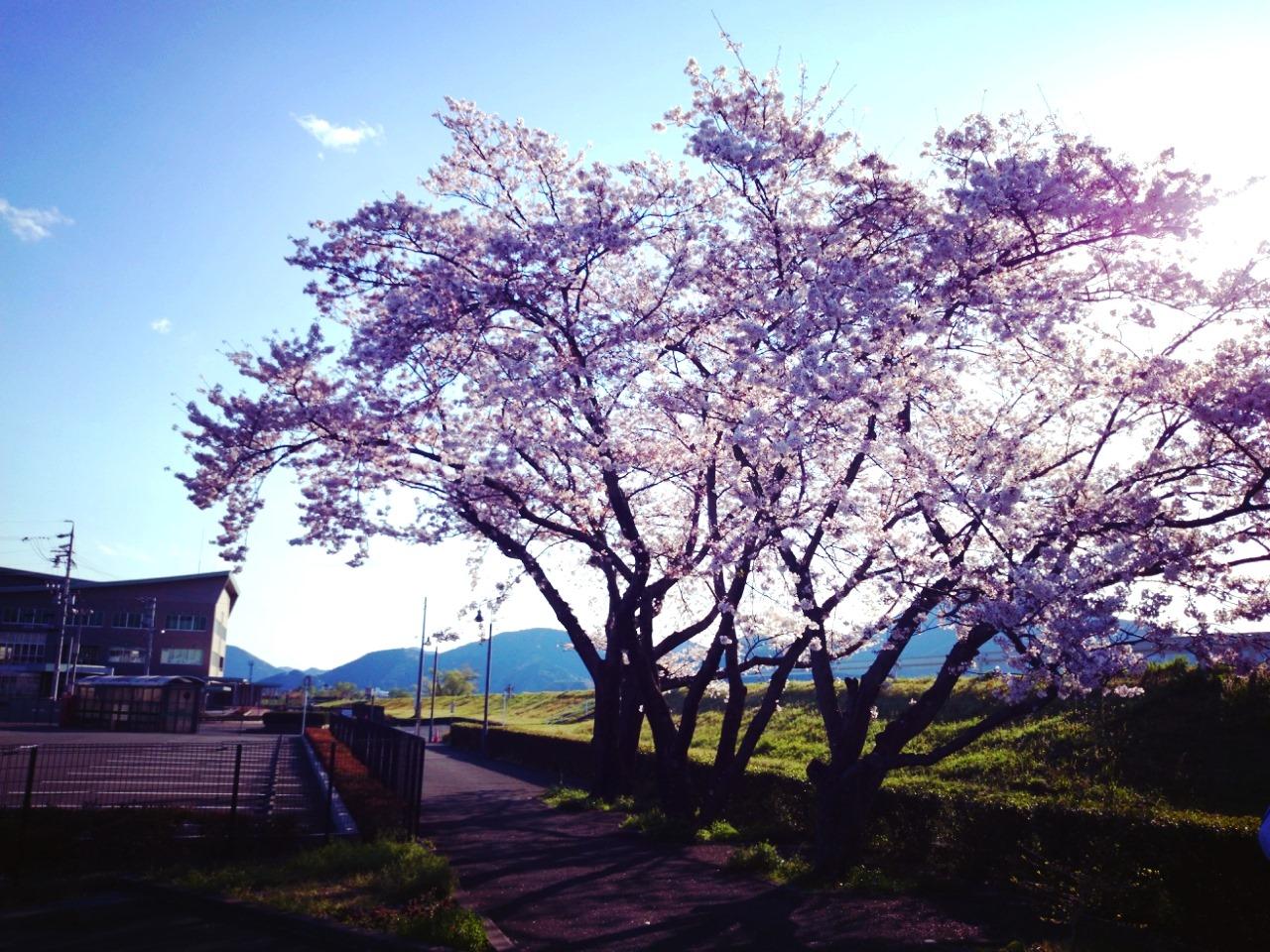 桜を見ながらの散歩