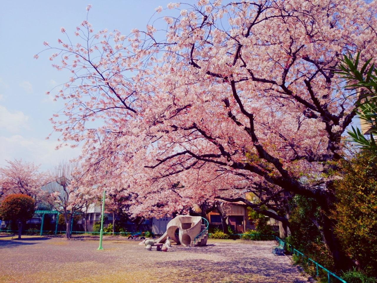 今日も桜発見!